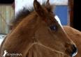 hodowla koni arabskich czystej krwi