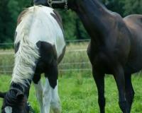 Klub Jazdy Konnej PRESTON-Pensjonat dla starszych koni